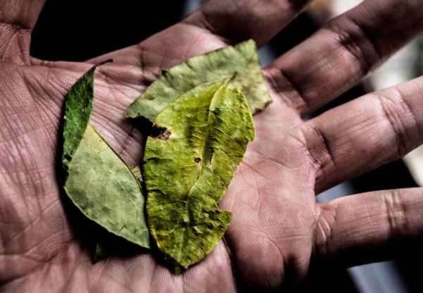 Importance of the Mysterious Coca Leaf