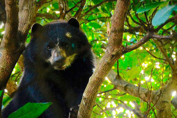 Pequeño oso de anteojos  fue visto  en Machu Picchu