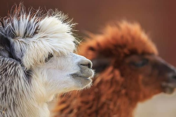 National Day of Alpaca, the High Andean domesticated Camelid of Peru